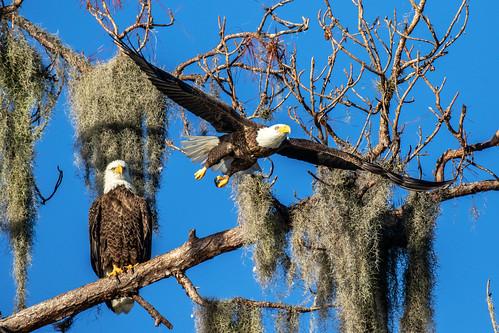 sky bird nature canon florida wildlife flight bif 7dm2 reptor raptor tree pine prey