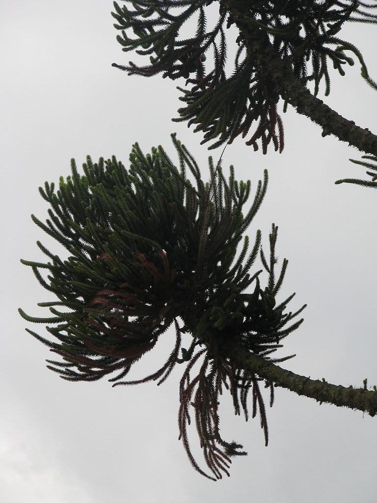 ARAUCARIA: Araucaria angustifolia
