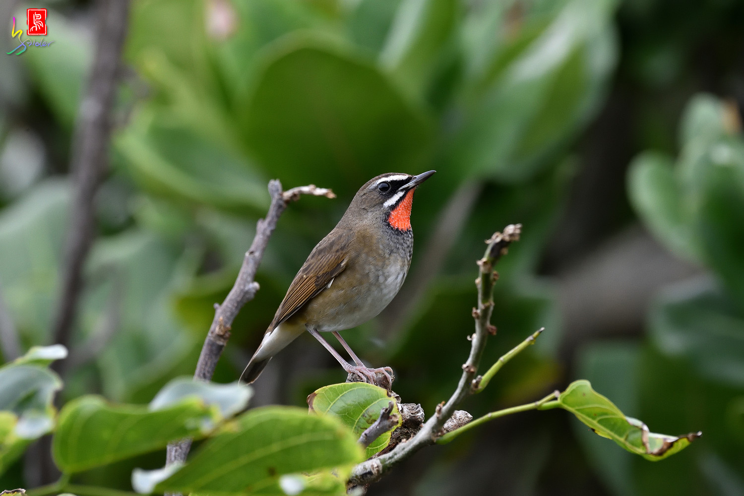 Rubythroat_8560