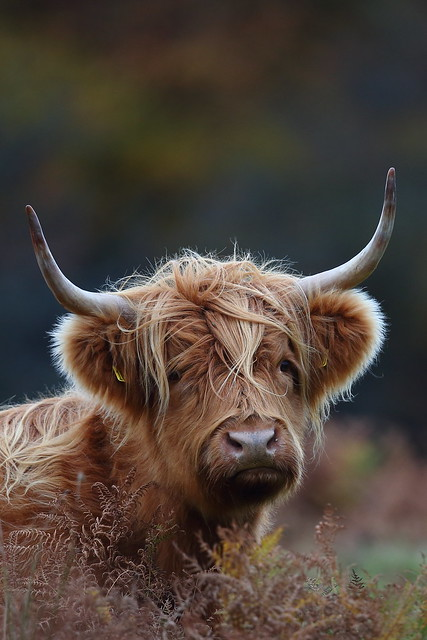 Highland Cattle (Explored)