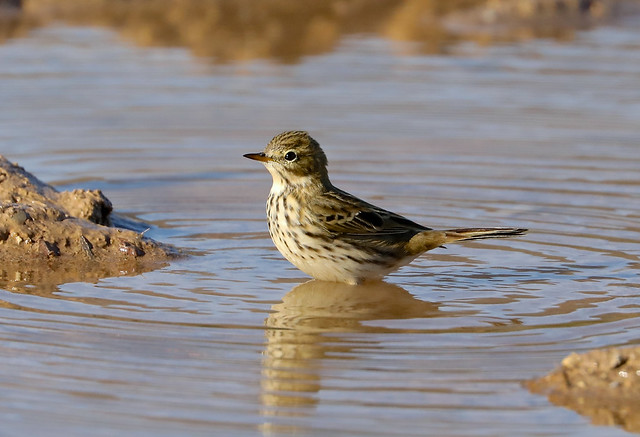 Meadow Pipit --- Anthus pratensis