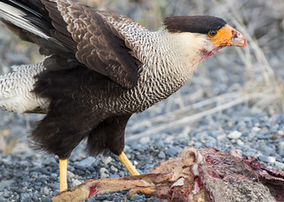 Southern Caracara | by Steven Rowe2