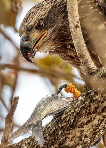 conowingo baldeagle dam eagle talon fish shad scales beak feeding bird maryland susquehanna river tree
