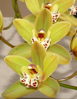 Cymbidium Unknown [Father Michael 8] hybrid orchid | by nolehace