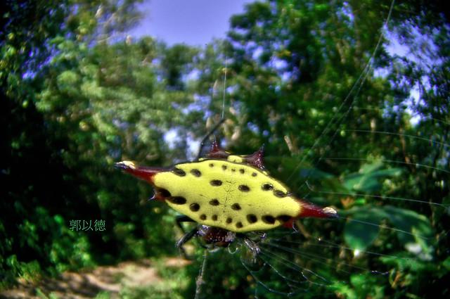 _DEC7934梭德氏棘蛛 Gasteracantha sauteri