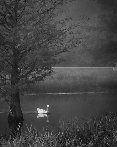 burroughspark bw blackwhite blackandwhite cedar fog goose lake marchspond monochrome park pond tree water tomball texas unitedstates us