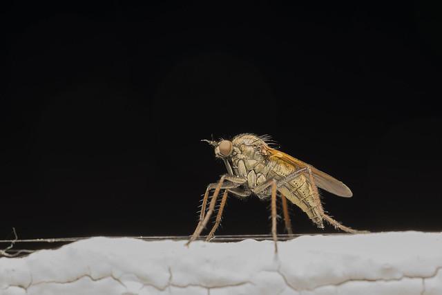 Dance fly (lat. Empis livida)
