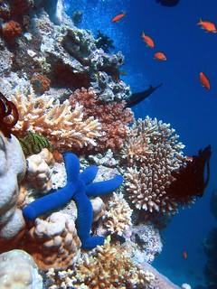 Blue Starfish (Linckia laevigata) resting on hard Acropora and Porites corals.