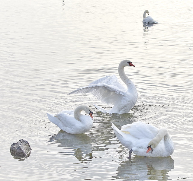 You will see swans
