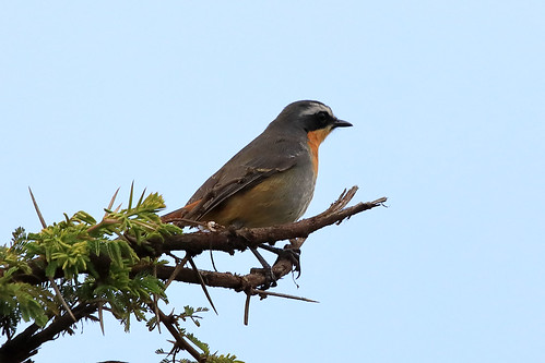 White-throated robin | by dmmaus