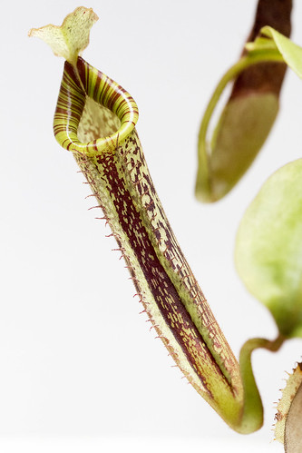 Nepenthes platychila NE tc