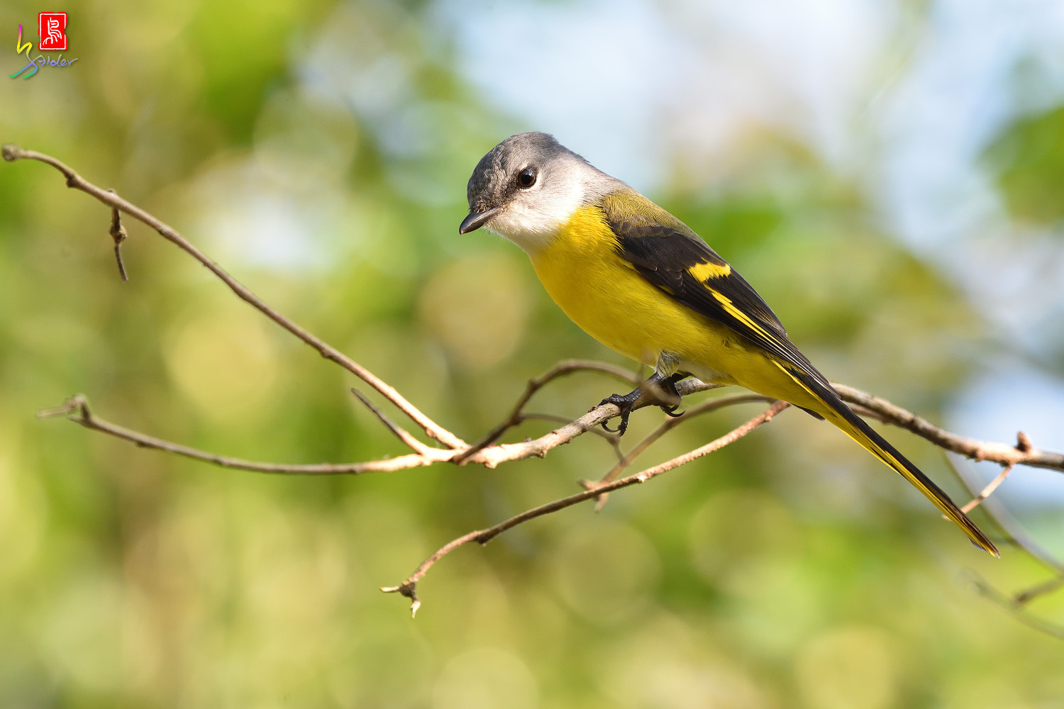 Grey-chinned_Minivet_8639