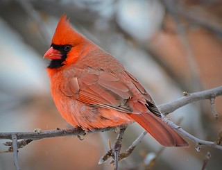 Where Have All The Cardinals Gone? | by DaPuglet