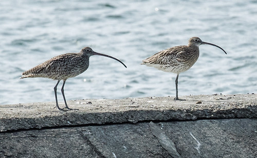 Far Eastern Curlew and Eurasian Curlew | by nickathanas