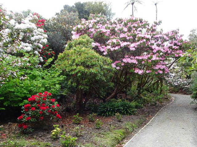 Taranaki. Rhododendron walk in the Pukeiti rhododendron gardens. Near New Plymouth.