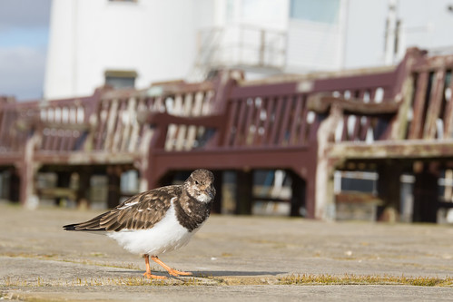 Turnstone (Arenaria interpres) | by Photography by Matt Latham
