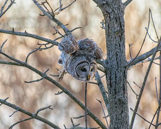 Barred Owl - 9324