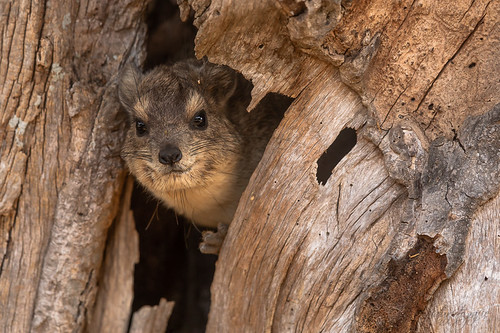 Southern tree hyrax | by Oliver Geiseler