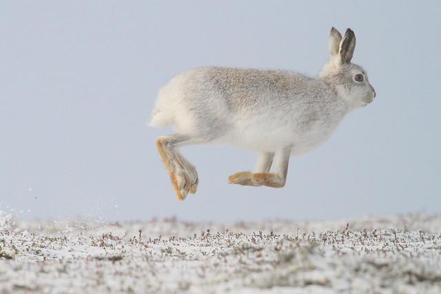 Mountain Hare - Scottish Highlands
