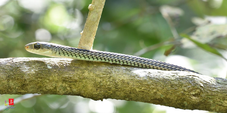 Snake_8848