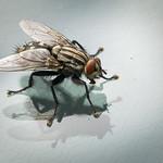Common flesh fly