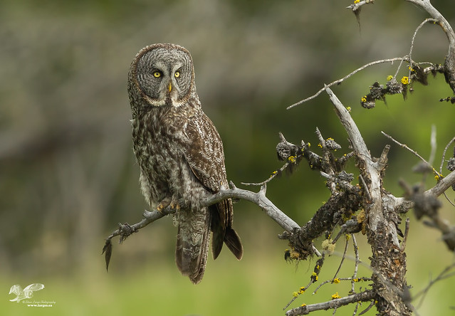 Landscape Version (Great Grey Owl)