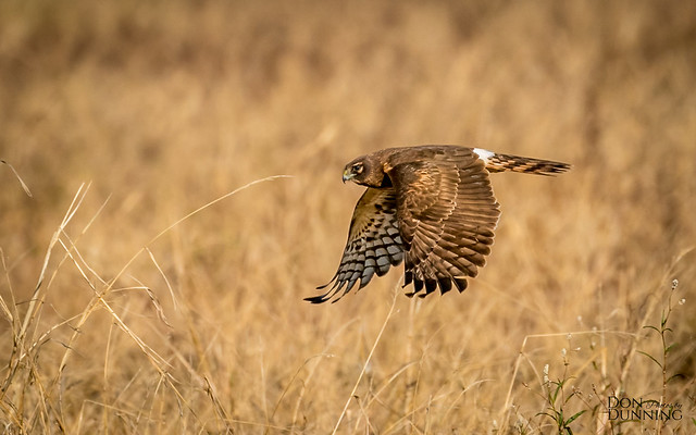 Northern Harrier Female (Circus hudsonius)
