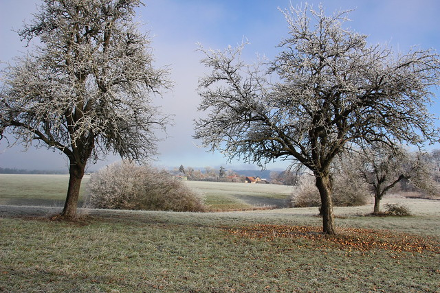 frosty appeltrees  IMG_3827