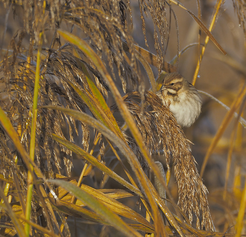 Reed Bunting in a beautifully lit reed-bed