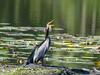 Australasian Darter (Anhinga novaehollandiae) by David Cook Wildlife Photography