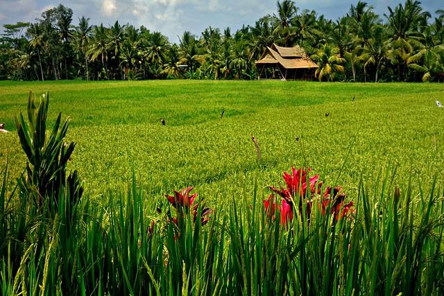 INDONESIEN, Bali , malerische Reisfelder rund um  Ubud, 17895/11107