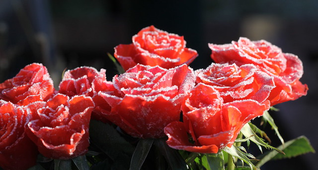 roses with ice