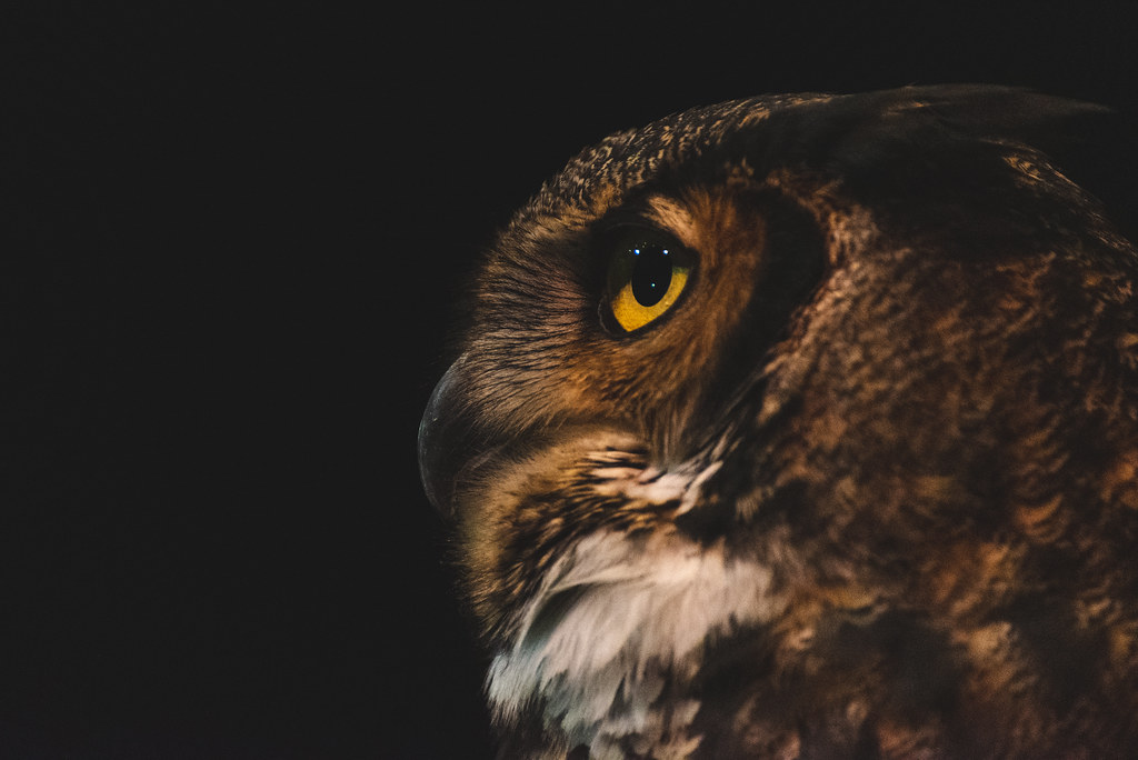 A close up profile of a great horned owl
