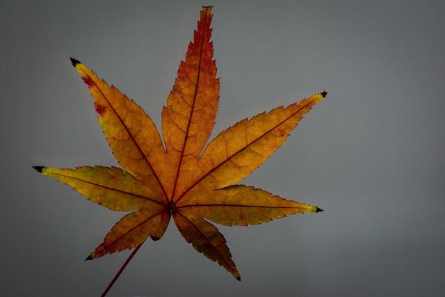 #336 Momiji leaf
