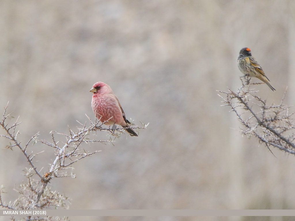 Great Rosefinch (Carpodacus rubicilla) & Fire-fronted Serin (Serinus pusillus)