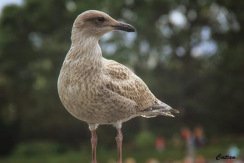 Sea gull - Holland | by cattan2011