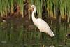 Intermediate Egret by SivamDesign