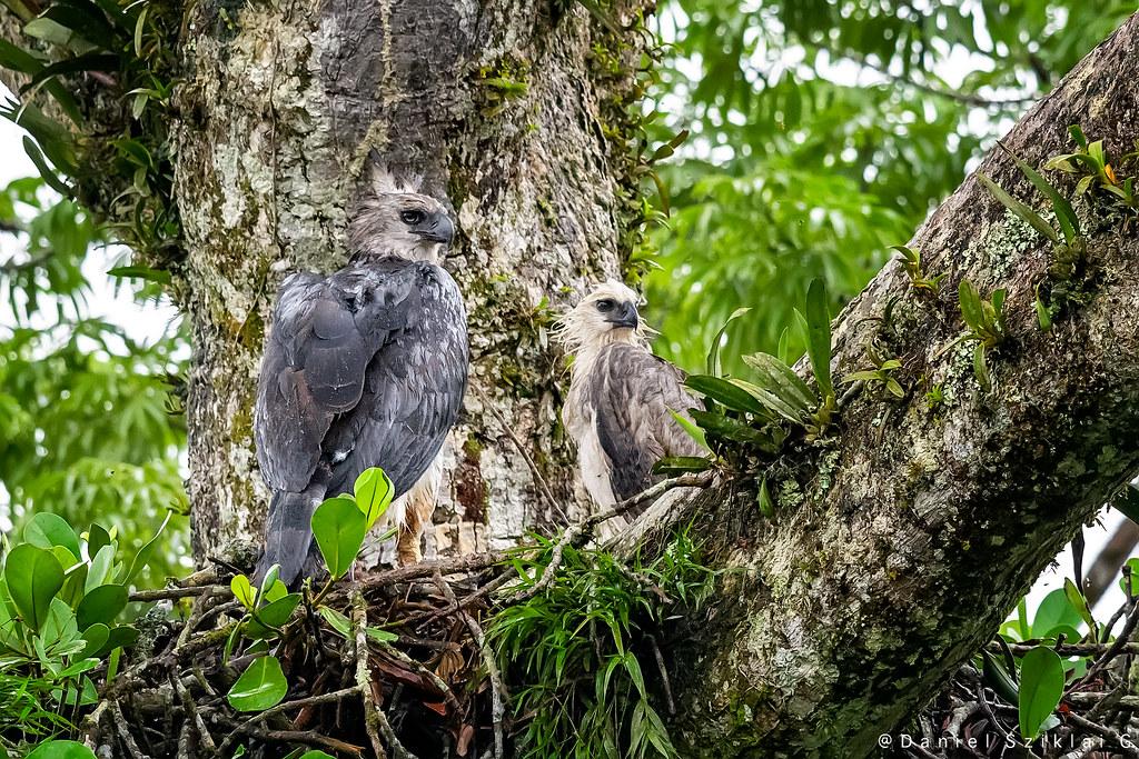 Águila Harpía. Harpy Eagle. Harpia harpyja