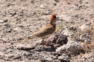 Red-capped lark | by dmmaus