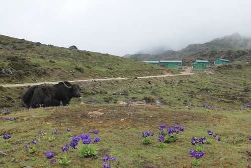 I felt bad for disturbing this yak's routine for the pic | by ric03uec