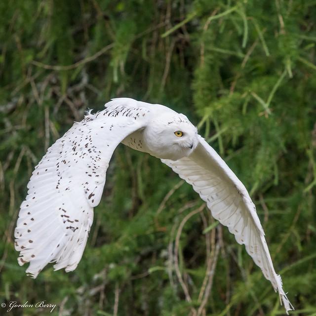 Snowy Owl 10-Jul-18  G 015 (In Explore)