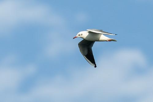 Black-headed Gull   by nickathanas