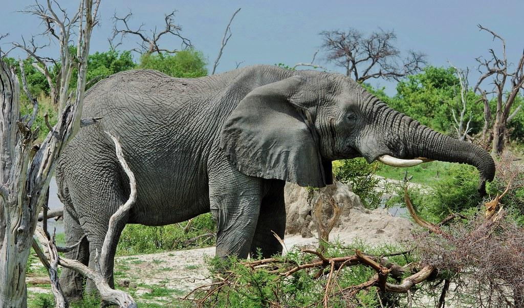 Elephant Grabbing Something To Eat