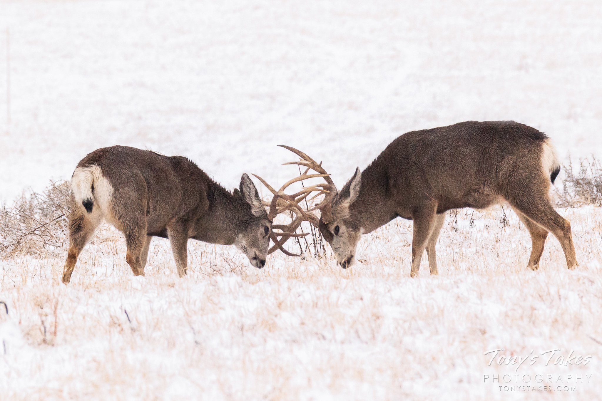 Mule deer bucks battle it out in the snow