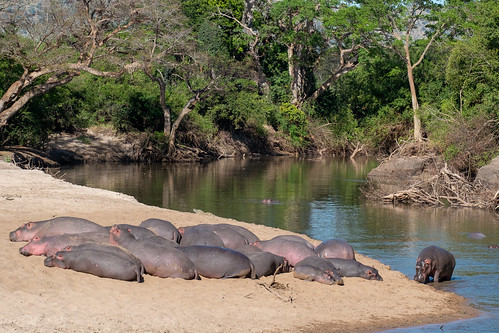 Hauled-out hippos | by Laura Jacobsen