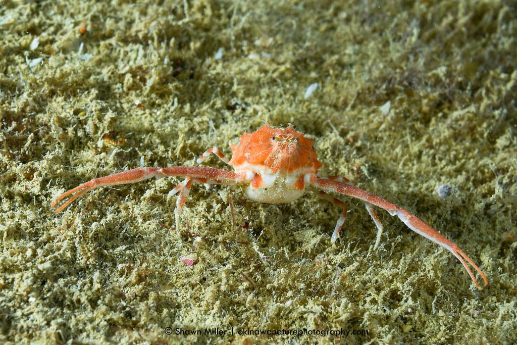 Raylilia Uenoi Rare Crabs Of The Ryukyu Islands Raylilia
