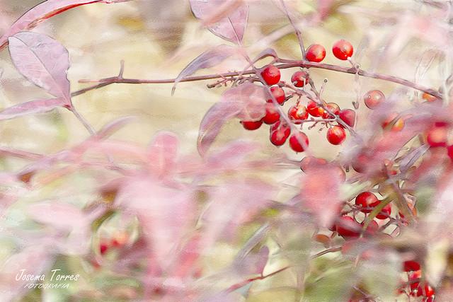 Nandina. fruto de otoño