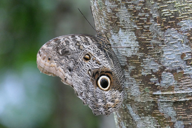 Caligo brasiliensis / Giant Owl REGUA BR 20190206