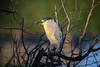Black-crowned night heron at sunrise at the Venice Rookery, Venice, Florida by diana_robinson
