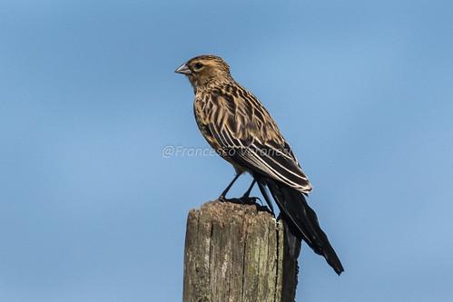 191weavers birds riftvalley kenya africa longtailedwidowbird